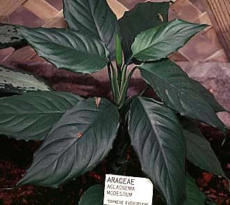 Фото Аглаонемы скромной (Aglaonema modestum)