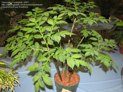 Аморфофаллюс Ривера (Amorphophallus rivieri