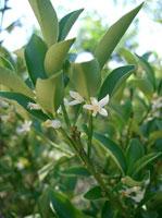 цветы Цитруса или фортунеллы японской