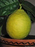 Фото плода Лимона Пандероза ('Ponderosa')
