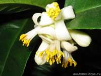 Фото цветков Лимона Пандероза ('Ponderosa')