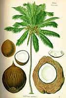 Фото Кокосовой пальмы