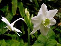 фото цветов Эухариса крупноцветкового