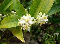 цветы Фортунеллы маргарита