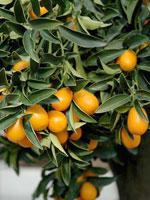 плоды Фортунеллы маргарита
