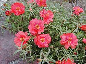 Фото Портулака крупноцветкового (Portulaca grandiflora)