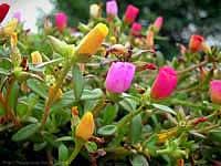 Фото Портулака крупноцветкового