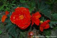 Фото Бигонии клубневой красной