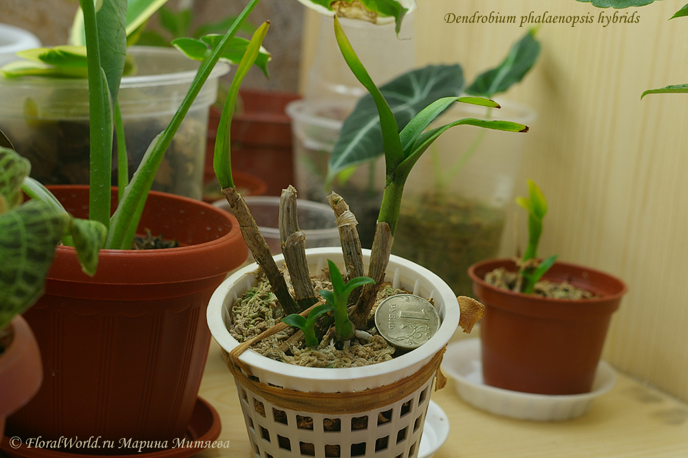 Как сажать орхидею дендробиум в домашних условиях