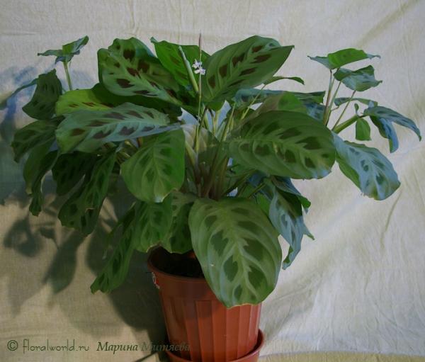 Мои комнатные растения (Asio Otus) - Маранта беложильчатая разн. Керховена (Maranta leuconeura var. kerchoveana) - Coppermine фо