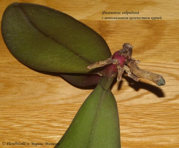 Что делать если у фаленопсиса нет корней