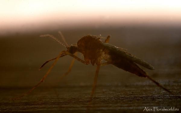Выше уже размещал фото комара долгоножки, теперь очередь за обыкновенным...