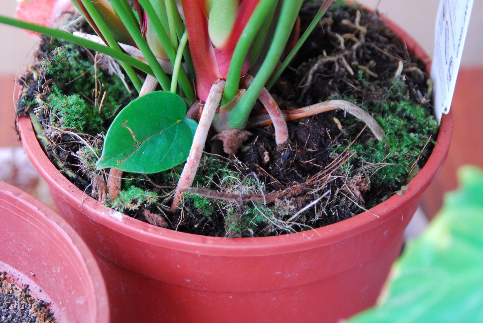 Уход и выращивание антуриума в домашних условиях