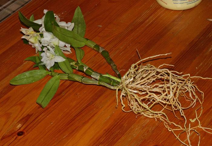 Размножение дендробиумом нобиле в домашних условиях