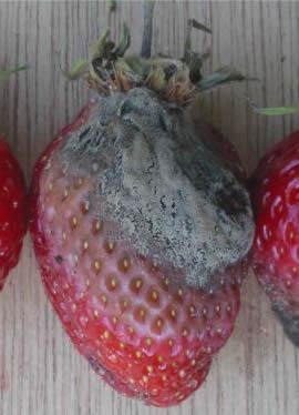 Какие грибные болезни поражают плоды и ягоды?  Все болезни плодов и ягод можно подразделить на паразитарные и...