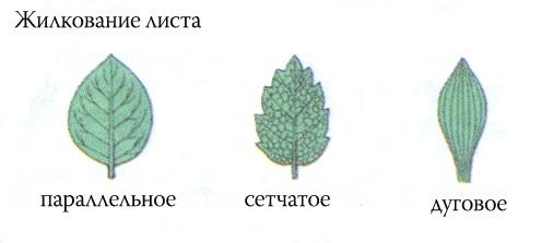 По типу жилкования листья делятся на