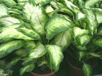 http://www.floralworld.ru/images/plants/Dieffenbachia_maculata_Camille.jpg