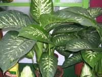 http://www.floralworld.ru/images/plants/Dieffenbachia_maculata_Tropic_snow.jpg