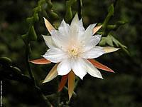 985... Если в комнатных условиях кактус не цветёт, то ему можно помочь, сделав прививку, т.е.посадить черенок...