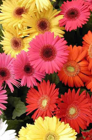 �������� �������� ������� �������� (Gerbera jamesonii)