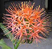 Цветок Антуриум или   101urokru