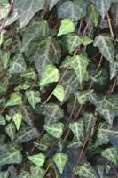 Синоним:Плющ обыкновенный подвид канарский(Hedera helix L. subsp.canariensis(Willd.  Cout.), в российский различных...