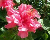 Гибискус рассеченнолепестной(Hibiscus schizopetalus(Mast.