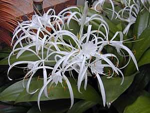 Комнатные цветы их фото и названия гименокаллис