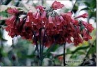 Фото цветков Каланхое Дегремона