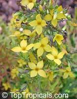 Фото цветков  Каланхое рассеченного (дольчатого)