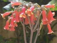 Фото Каланхое трубкоцветного
