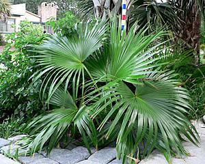 Фото Ливистоны китайской (Livistona chinensis)