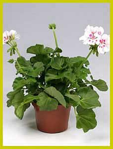 http://www.floralworld.ru/images/plants/Pelargonium_Zonale_White_Spluks.jpg
