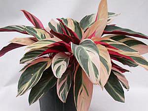 Цветок триколор