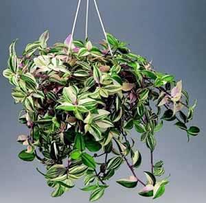 http://www.floralworld.ru/images/plants/Tradescantia_albiflora.jpg