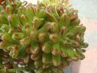 http://www.floralworld.ru/images/plants/aeonium_sedifolium_2.jpg