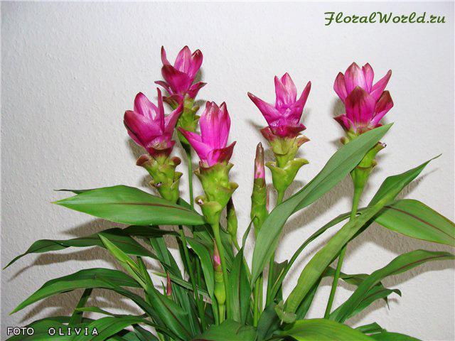цветок куркума фото