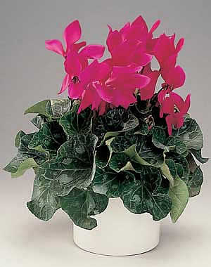 Фото Цикламена персидского (Cyclamen persicum) .