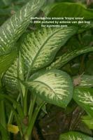 http://www.floralworld.ru/images/plants/dieffenbachia_amoena_tropicSnow.jpg