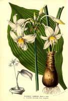 Эухарис родина растения