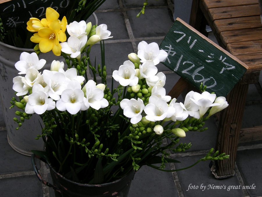 http://www.floralworld.ru/images/plants/freesia/Freesia_x_hybrida_3.jpg