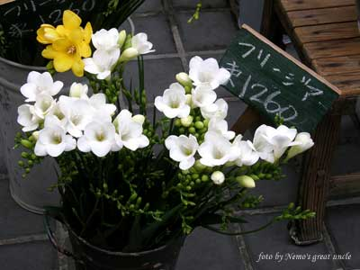 http://www.floralworld.ru/images/plants/freesia/thumb_Freesia_x_hybrida_3.jpg