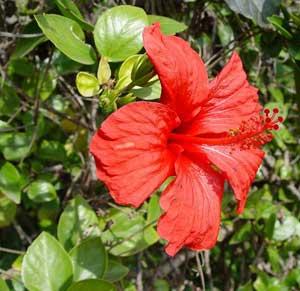 Фото Гибискуса китайского (Hibiscus rosa-sinensis)