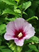 TORIK, гибискус - это китайская роза.  В Интернете его часто так называют.  Я нашла одну похожую фотографию...