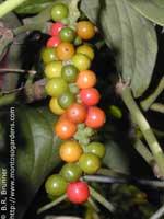 плоды Перца черного
