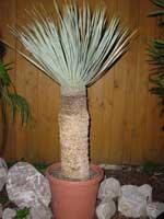 Родина растения юкка
