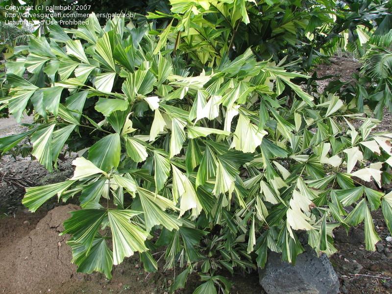 пальма кариота
