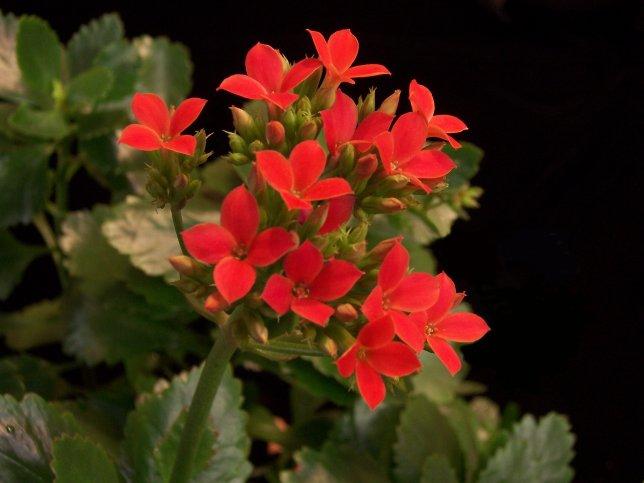 Продам укорененные черенки каланхоэ Блоссфельда.  Растут в пластиковых горшках.  Красные цветочки.