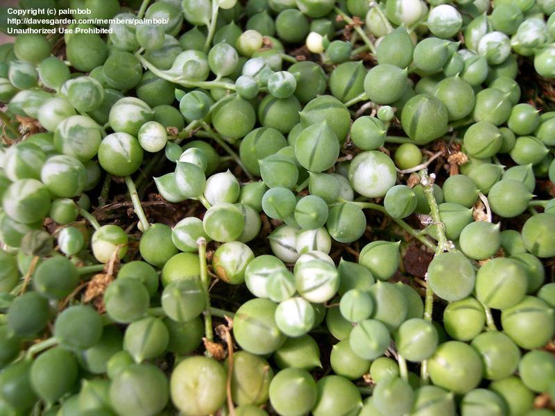 Комнатное растение крестовник описание и уход