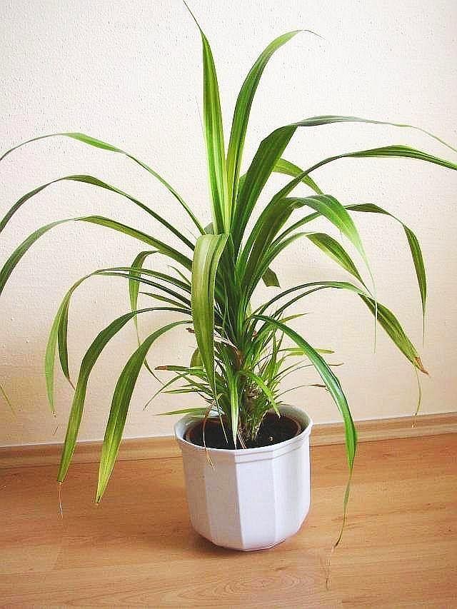 Домашние цветы названия и фото пальмы